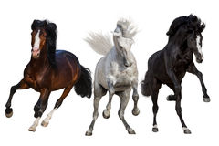 Three horse run forward  isolated Royalty Free Stock Photography
