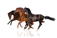 Three horse run gallop. Bay, red, black horse run gallop isolated on white Royalty Free Stock Photo