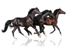 Three horse run gallop. Dark horse run gallop isolated on white background Royalty Free Stock Image