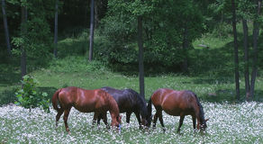 Three Horses. Grazing together in a daisy filled pasture Royalty Free Stock Images