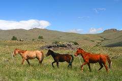 Three Horses on a meadow Royalty Free Stock Photography