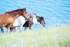 Three horses. Walking along the beach against the backdrop of blue sea Stock Images