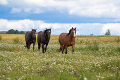 Three horses. Walk in field Stock Images