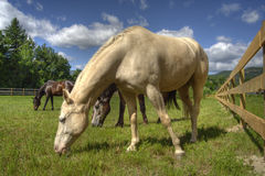 Three horses. Grazing in a field in New Hampshire royalty free stock photography