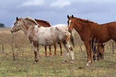 Three horses. Horses in the field, in automn Stock Image