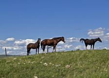 Three Horses. This picture was taken in northcentral Montana near Browning and on the Blackfeet Indian Reservation Royalty Free Stock Photos