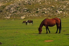 Three horses on an alpine meadow Royalty Free Stock Photography