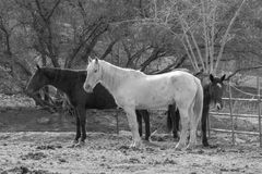 Three horses in black and white Stock Image