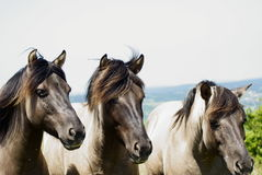 Three horses Royalty Free Stock Image