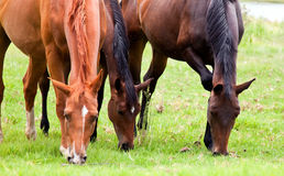 Three horses eating grass Royalty Free Stock Photo