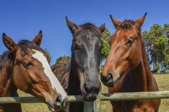 Three horses at the edge of the fence stock photo