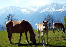 Haflinger breed horses in St. Catarine, South Tirol, Italy stock photos