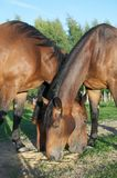 Three horses Royalty Free Stock Images