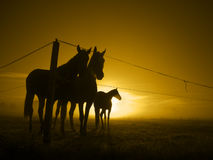 Three horses at fence in the sunrise_toned Royalty Free Stock Image