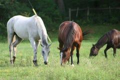 Three horses in field. Three horses enjoying the field on a bright sunny day Royalty Free Stock Image