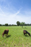 Three Horses in a Field Royalty Free Stock Photo
