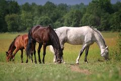 Three horses in a field Royalty Free Stock Images