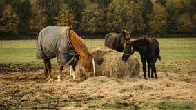 Three horses on field Royalty Free Stock Image