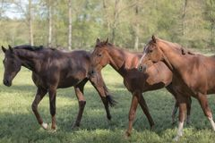 Three horses on a field, trees as background royalty free stock photos