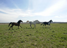 Three horses frolick in field Stock Images