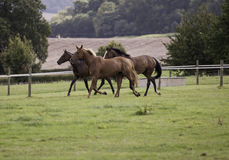 Three horses galloping in a field Stock Photography