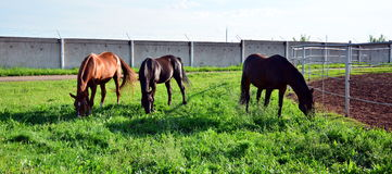 Three horses graze on green grass Stock Photos