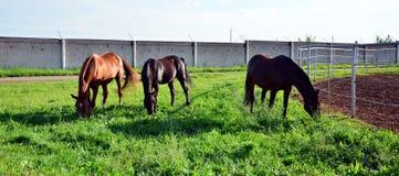 Three horses graze on green grass stock photos