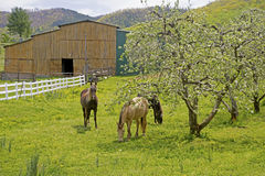Three horses graze near apple trees in bloom. Stock Images