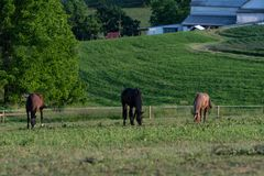 Three horses grazing in Appalachia. Three horses grazing in evening light with barns from a farm in the background in Appalachia royalty free stock photo
