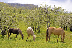Three horses grazing in an apple orchard. Stock Photo