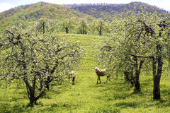 Three horses grazing in an apple orchard. Royalty Free Stock Photos