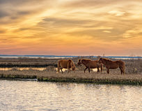 Three horses grazing. Three brown wild horses grazing under a warm sunset at Assateague Island royalty free stock photos