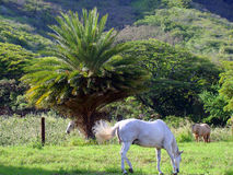 Three horses grazing in field with palm, Oahu, HI Stock Images