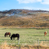 Three horses grazing on the grass Royalty Free Stock Image
