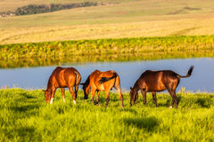 Horses Dam Grass Summer Stock Image