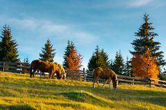 Three horses grazing on a hill. Wonderful rural scene in evening. forest behind the fence in the distance royalty free stock photography