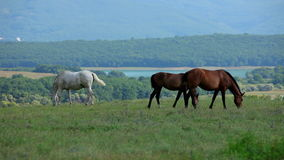 Three Horses Grazing On Meadow. Two brown and one white horses peacefully grazing on green meadow near forest area at bright summer day stock footage
