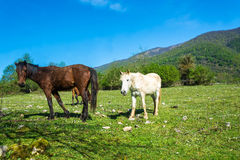 Three horses grazing in a mountain meadow. Royalty Free Stock Images