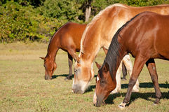 Three horses grazing in pasture Royalty Free Stock Photos