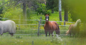 Three horses grazing and relaxing in a springtime summer meadow. Royalty Free Stock Image