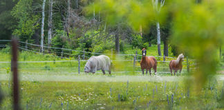 Three horses grazing and relaxing in a springtime summer meadow. Royalty Free Stock Photo