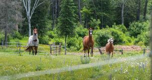 Three horses grazing and relaxing in a springtime summer meadow. Stock Photography