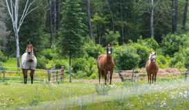 Three horses grazing and relaxing in a springtime summer meadow. Stock Image