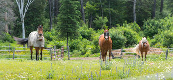 Three horses grazing and relaxing in a springtime summer meadow. Royalty Free Stock Photos