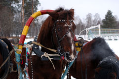 Three horses harnessed abreast (troika). Three horses harnessed abreast (troika) - carriage-and-three in winter background Royalty Free Stock Photo