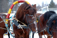 Three horses harnessed abreast (troika). Three horses harnessed abreast (troika) - carriage-and-three in winter background Royalty Free Stock Image