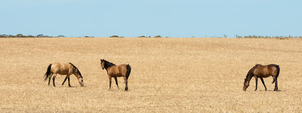 Three horses in harvested field. Royalty Free Stock Photography