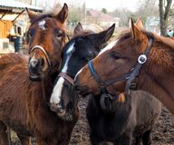 Three horses with heads together Stock Photo
