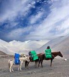 Three Horses with heavy load Royalty Free Stock Image