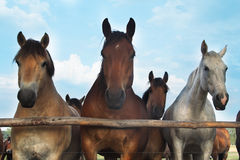 Three horses and herd. On a meadow royalty free stock photos